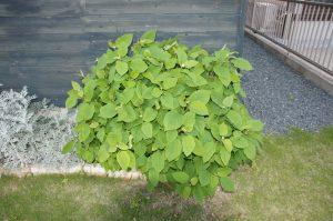今年もアジサイの葉が広がりました