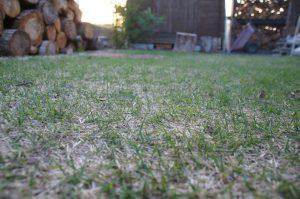 芝生は青くなってきましたが…