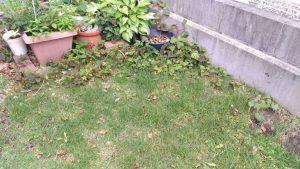 「芝生に効かない除草剤」では無理だったか