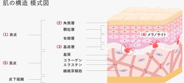 肌の構造 模式図