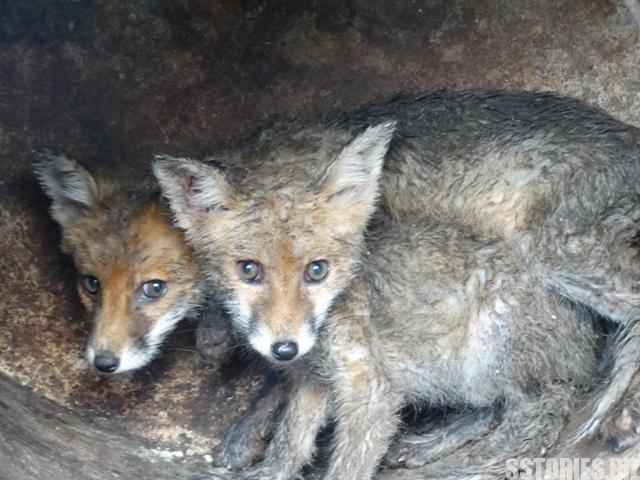 Кмтът на Байлово се грижи за две диви лисичета, тглежда 100 килкици, които после пуска в гората