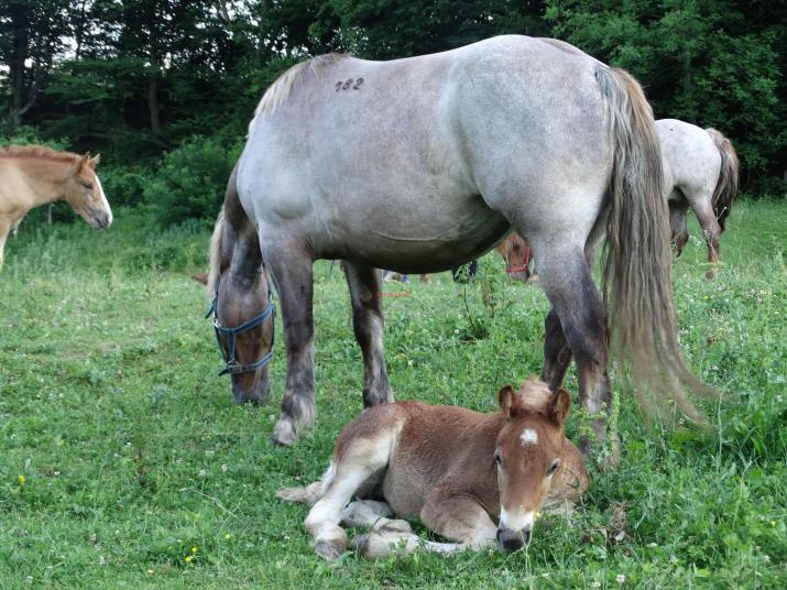 Малко жребче с майка си от породата Български тежковозен кон от стадото на Борислав Илиев в Черни Осъм. Той притежава и стадо с Карачански кон, който е високо в планината. Двете породи отглежда предимно за дърводобив. Тежковозът е за влачене на трупи, докато каракачанският кон носи на самар около 200 кг. тежковозът ще бъде изплолзван следващия сезон и за туристически преходи