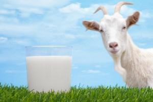 فوائد حليب الماعز للصحة العامة للإنسان وقيمته الغذائية