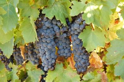 grappes de raisins château st eutrope
