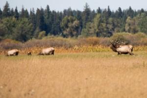 Elks im Grand Teton