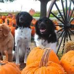 pumpkin Stabys