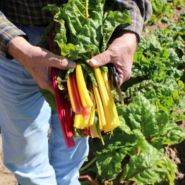 Farmer in field holding freshly cut rainbow swiss chard