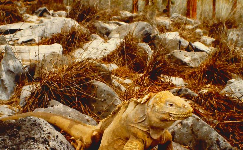 Photo: Enter the Galapagos land iguana