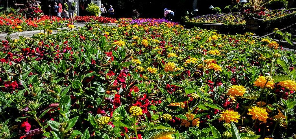garden flowers in Victoria
