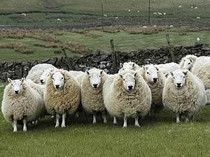 cheviot ewes