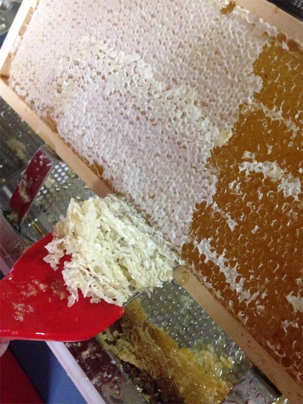 Entdeckeln einer Honigwabe mit Entdeckelungsgabel.