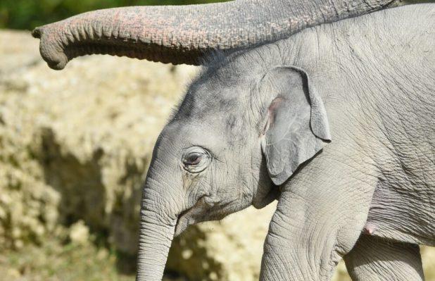 Der junge Elefantenbulle Otto auf der Außenanlage im Tierpark Hellabrunn
