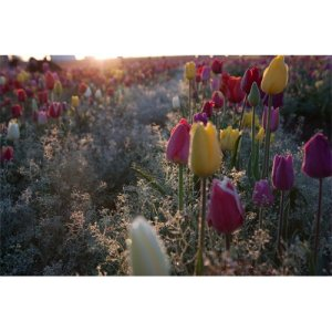 Tulips By Carla Axtman