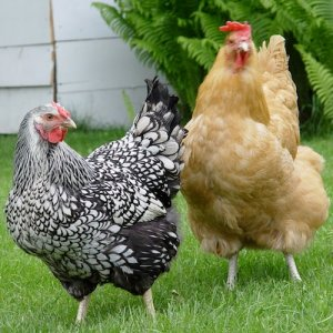 Two chickens roaming in the grass of their urban backyard home.