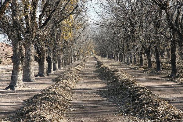 Pecan grower sweeping fresh pecans into rows