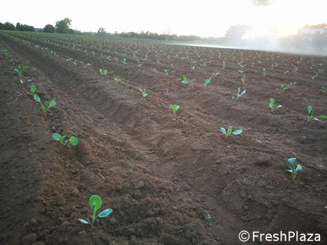 Winter vegetable transplants have started in southern Italy -