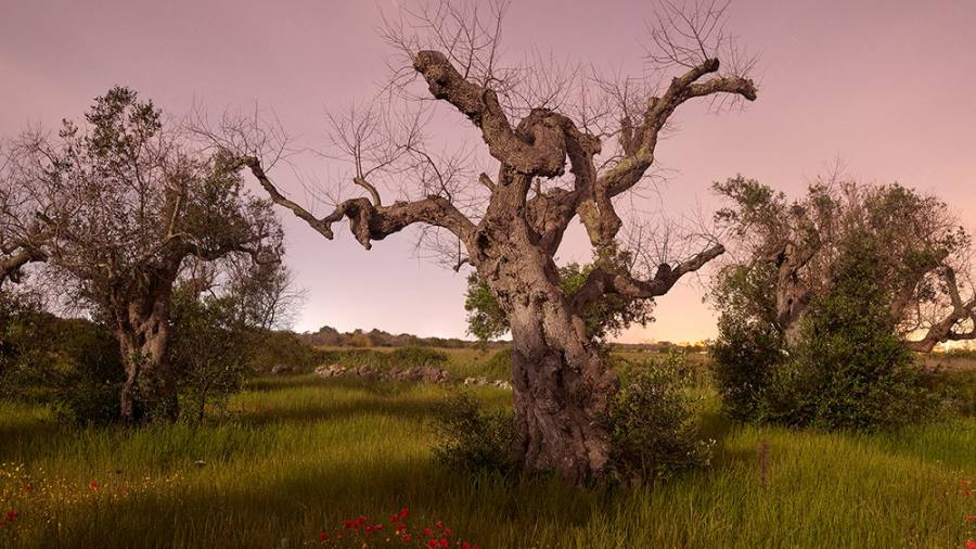 Puglia's ghost trees: James Mollison photographs the dying olive groves
