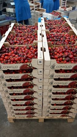 Apulian cherries sales are on hold, but production prices are sky-high -  StaInPuglia