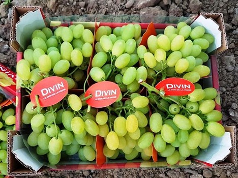 Table grapes in Sicily and Apulia doing extremely well -