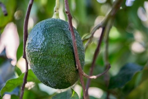Masseria Fruttirossi to plant 40 hectares of avocado in Apulia -