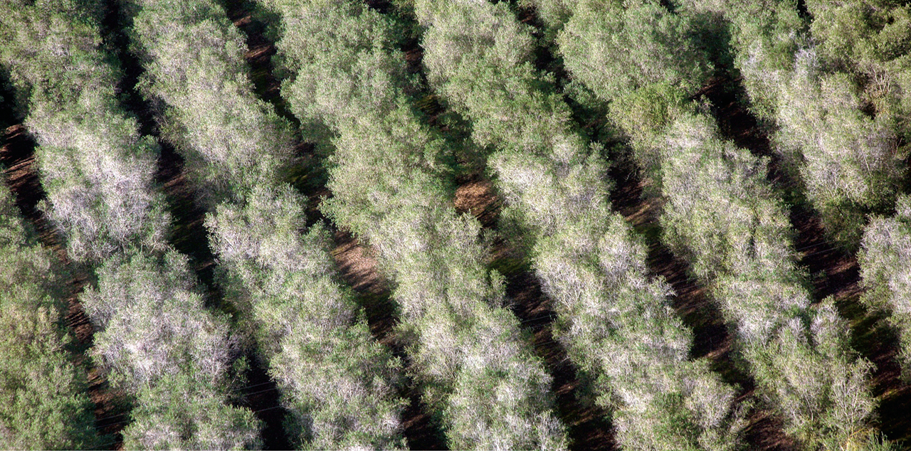 Can Apulia's olive trees be saved?