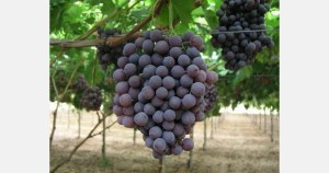 New grape varieties are being registered
