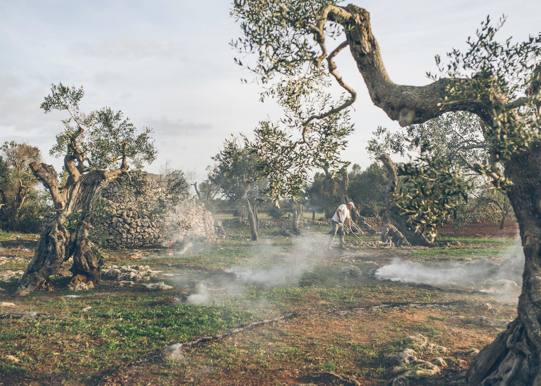 Inside the Race to Save Italy's Olive Trees