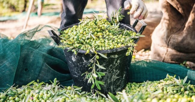 Italian Olive Oil Production Down By More Than A Quarter: Study