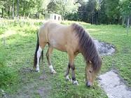 Lif från Lysegården f. 2009. Sto, gulbrun skäck med stjärn e. Strákur från Kaggestorp u. Tibrá frá Varmalaek. Lif är en underbart snäll ridhäst med fina gångarter.