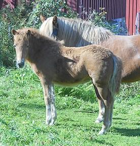 Lisa från Lysegården fuxsto f 2014 e. Háleggur från Spelnästorp u. Raska frá Dyrfinnustödum. Lisa är Raskas åttonde föl och det första som inte har Vadall som far. Hon blir en stor och kraftfull häst och visar redan fina gångarter.