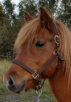 """Stjörnu-Klara från Bäck """"Táta"""", född 98 e Dreyri från Väbylund u Stjarna fra Hofsstödum. En pigg och glad 4-gångare som är stallets pratgladaste häst. Ägare Monci Sporre."""