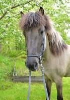 Mósa från Elgæy f. 2006, sto, musblack, e. Geisli frá Reykjavík u. Lilja fra Tåsinge. En mycket pigg och framåt häst med väldigt mjuka gångarter och en stor personlighet. Ägare: Pernilla Johansson