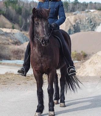 Harpa från Knutshyttan f. 2011 är ett svart sto e. Somi från Knutshyttan u. Krafla från Knutshyttan. En pigg och framåt häst med fina gångarter. Avelsbedömd med total 7.73 Ägare: Linnéa Backersgård