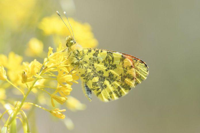 Farfalle, Esemplare di Anthocharis damone
