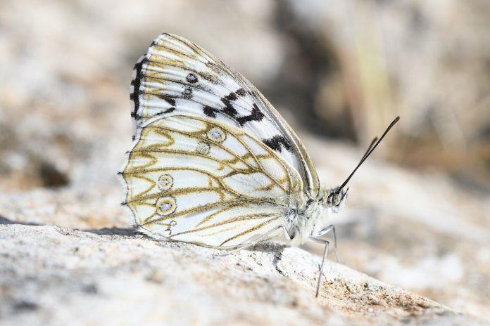 Farfalle, esemplare di Melanargia pherusa