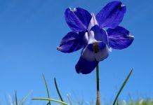 Piante usate per la ricerca, esemplare di aquilegia alpina