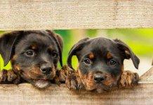 Cani rapiti in mezzo alla staccionata