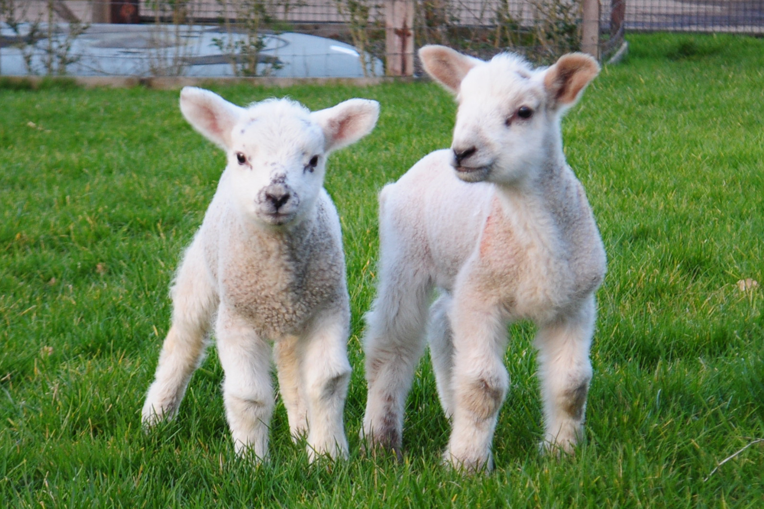 Two Lambs Beaten To Death By Gang Of Thugs Who Hung One