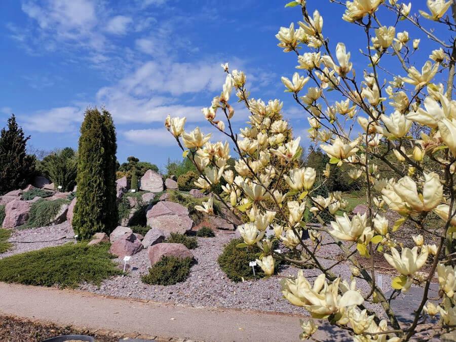 Magnolia's in de Loki-Schmidt-Garten