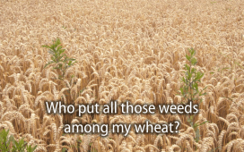 Picture of weeds growing in a field of wheat.