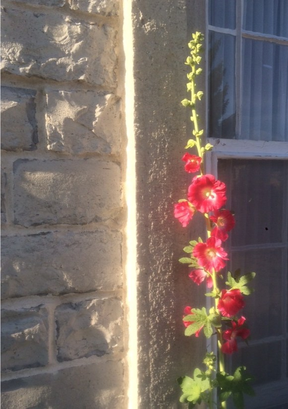 Hollyhock beside the limestone of the St. Andrew's Manse