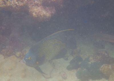 French Angel Fish