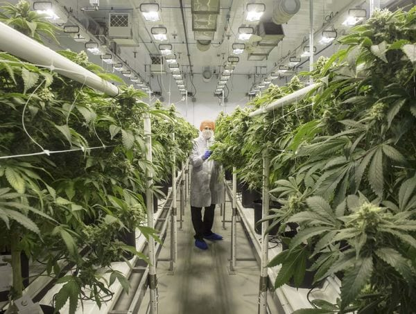 legal-cannabis-could-lower-demand-for-medical-pot