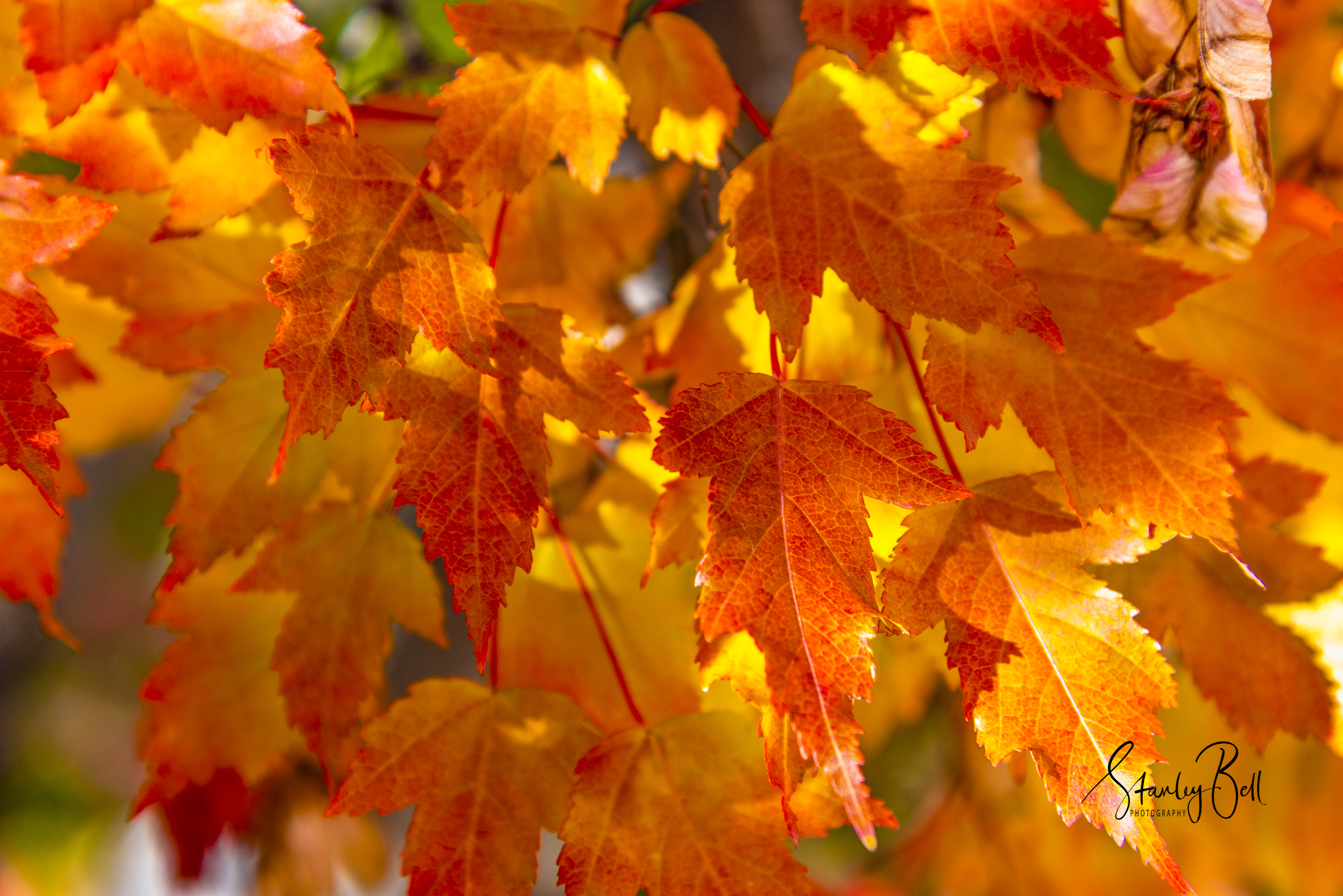Manitoba Maple Leaves in Autumn Glory