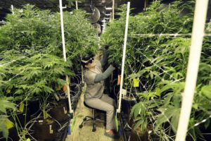 ASSOCIATED PRESS                                 Heather Randazzo, a grow employee at Compassionate Care Foundation's medical marijuana dispensary, trimmeds leaves off marijuana plants, March 22, in the company's grow house in Egg Harbor Township, N.J. The U.S. government is explicitly barring federal dollars for opioid addiction treatment from being used on medical marijuana.