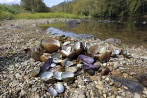 MEAGAN RACEY/U.S. FISH AND WILDLIFE SERVICE VIA ASSOCIATED PRESS                                 A pile of recently dead freshwater mussels are piled along the shore, Oct. 17, of the Clinch River near Wallen Bend, Tenn. While freshwater mussels have been plagued for decades by habitat loss, invasive species, pollution, sedimentation and other issues, there's a possibility that the die-off in the Clinch River could be connected to infectious disease.
