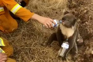 ASSOCIATED PRESS                                 In this image made from video taken on Dec. 22, 2019, and provided by Oakbank Balhannah CFS, a koala drinks water from a bottle given by a firefighter in Cudlee Creek, South Australia.