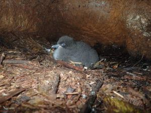 COURTESY KAUAI ENDANGERED SEABIRD RECOVERY PROJECT                                 The Hawaiian Petrel chick, pictured before it was killed by a feral cat.
