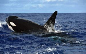 NOAA VIA ASSOCIATED PRESS / JULY 2016                                 Killer whales swam off the coast of Maui. A new ocean research ship is heading to Hawaii after more than $200 million in federal funding has been secured for the National Oceanic and Atmospheric Administration, according to U.S. Sen. Brian Schatz.