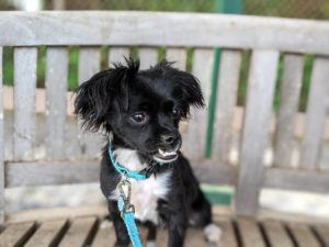 """COURTESY MAUI HUMANE SOCIETY                                 Boogie, a Maui Humane Society alumni, is a contender on Hallmark Channel's """"2020 American Rescue Dog Show"""" this weekend. He will be competing in the """"Best in Underbite"""" category."""